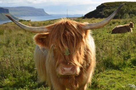 Highland Cow at Loch na Keal