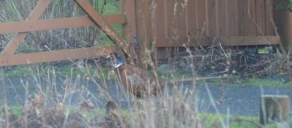 Garden Pheasant